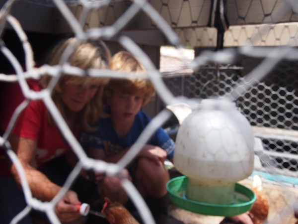 Kerrie Searle, Animal Communicator, working with Jack and Dora the chicken – www.animal-communicator.com.au/blog.