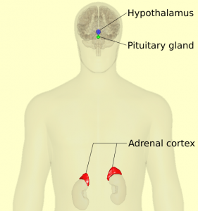 HPA Axis - Hypothalamus-Pituitary-Adrenal - Anterior View