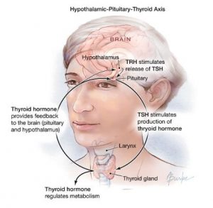 Diagram of HPT Axis - Hypothalamus-Pituitary-Thyroid.